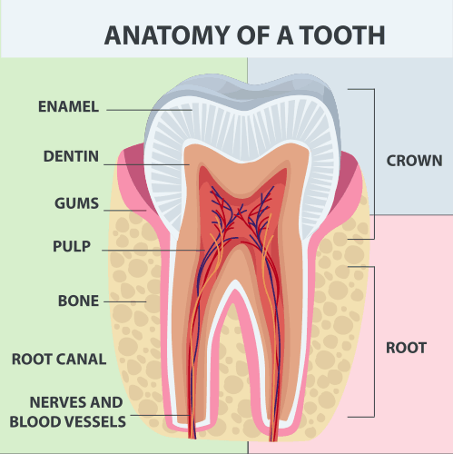 Anatomy and structure of a tooth